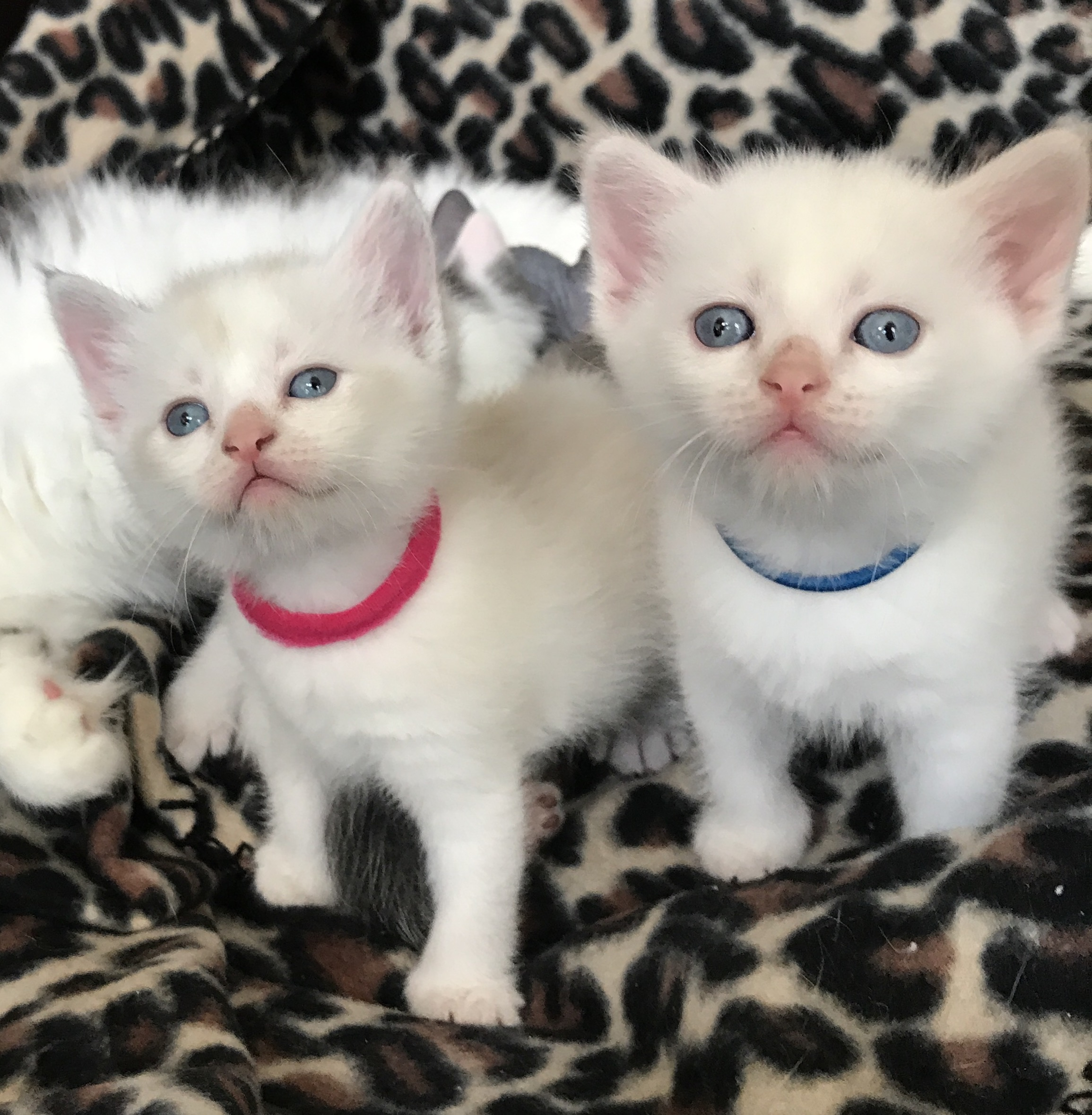 Available Sphynx outcross kittens