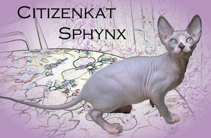 Sphynx Cat kitten sphynx breeder